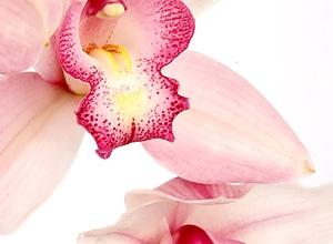 Confezione Orchidee