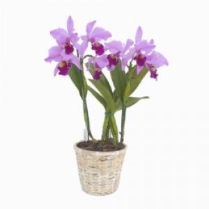 Pianta orchidee