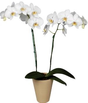 Pianta orchidea farfalla