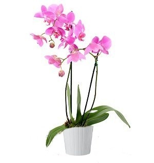 Aliflora orchidea Phalaenopsis