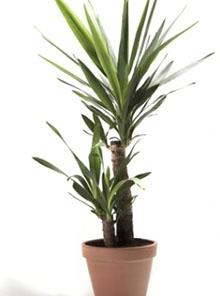Tronchetto yucca
