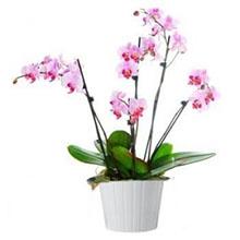 Piante orchidee Farfalla