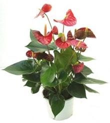 Anturium Plant Big