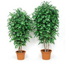 Artificial plant ficus green cm 200