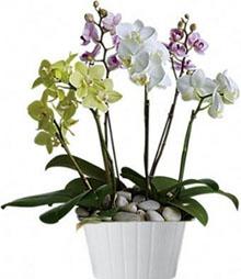 Piante orchidee farfalla mix