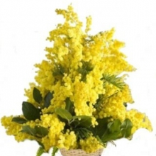 Aliflora Cesto con mimose
