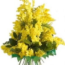 Aliflora Mimose