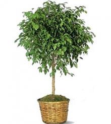 Ficus Beniamino Plant