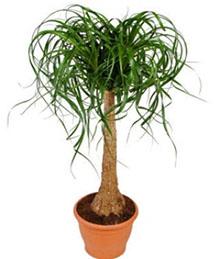 Boucarnea Plant